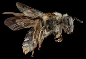 Andrena Hippotes