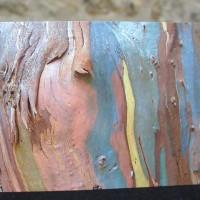 Eucalyptus / Emmel